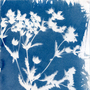 Cyanotypes: Non Camera Photography